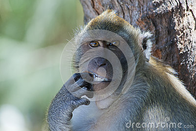 Monkey picking its teeth