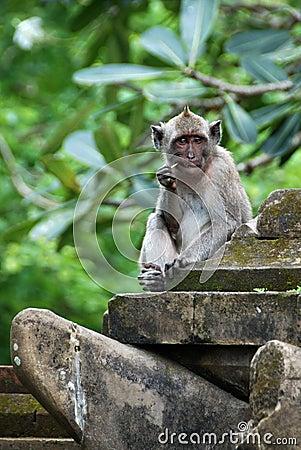 Monkey picking teeth