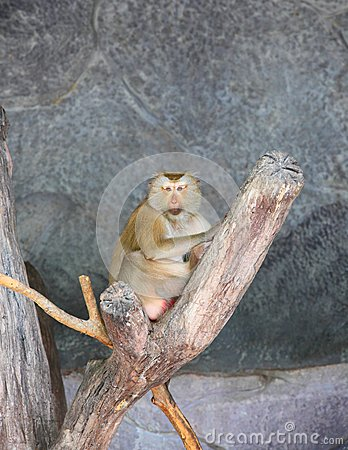 Monkey (Pig-tailed macaque or Macaca nemestrina )