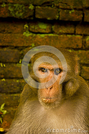 A monkey portrait