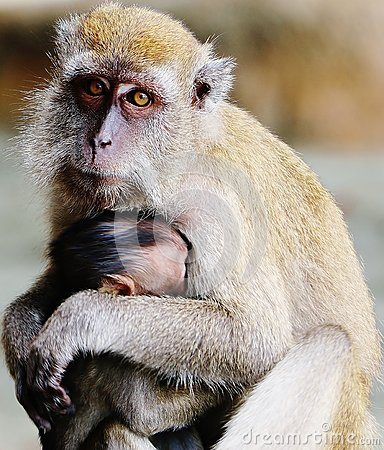 Free Monkey Protecting Its Child Stock Photography - 82916762