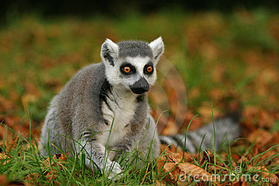 monkey Ring-tailed Lemur