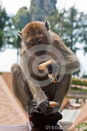 Monkey sat on Hotel Balcony Eating