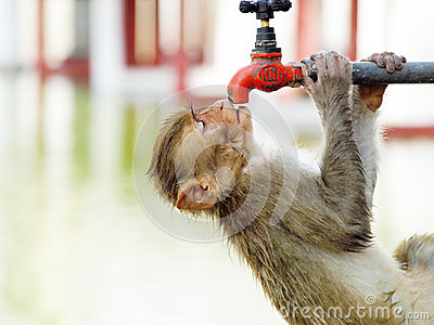 Monkey searching water