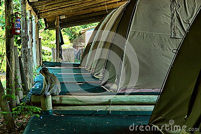 Monkey sits next to camping tent