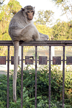 Monkey Sitting on Fence