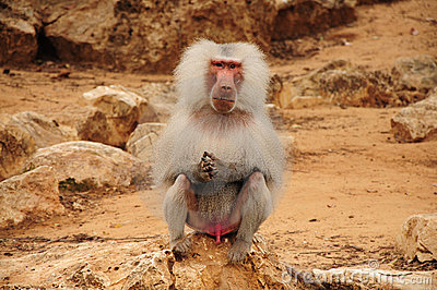 Monkey sitting on rock and staring