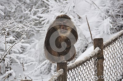 Monkey in the snow