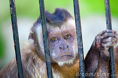 Monkey species Cebus Apella behind bars