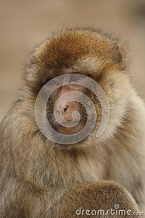 A Monkey staring