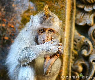 Monkey in a stone temple. Bali Island, Indonesia