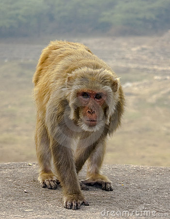 Monkey Walking Around With A Stick And With Corn In His Mouth ...