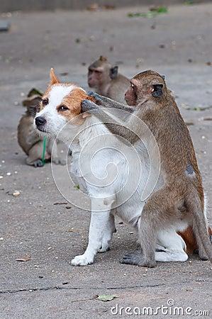 Monkeys checking for fleas