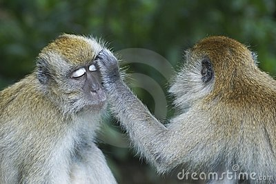 Monkeys grooming another