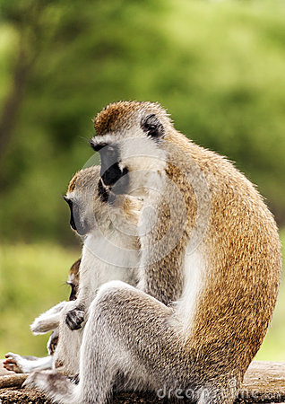 Free Monkeys In The Branches Royalty Free Stock Images - 43250979