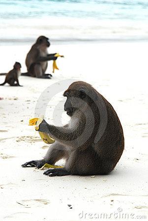 Free Monkeys On Beach Royalty Free Stock Images - 3735259