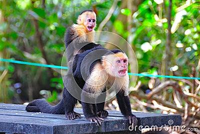 Коста monkeys спайдер rica кричащий