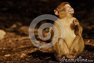 Mono de Barbary (sylvanus del Macaca) en madera del cedro cerca