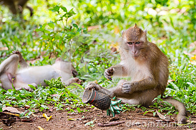 Mono de Macaque en fauna