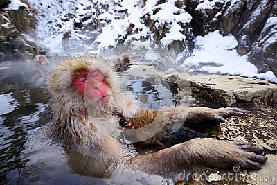 Mono japonés de la nieve