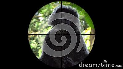 Mono negro del gibón visto en alcance del rifle del arma Caza de la fauna Animales en peligro, vulnerables, y amenazantes el esca metrajes