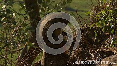 Mono que come el bolso de la comida almacen de metraje de vídeo