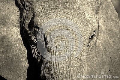 Monochrome portrait of elephant face