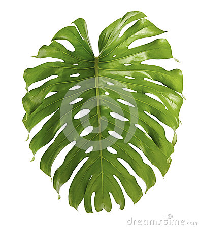 Free Monstera Deliciosa Leaf Or Swiss Cheese Plant, Isolated On White Background Royalty Free Stock Photography - 99184607