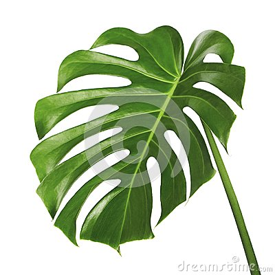 Free Monstera Deliciosa Leaf Or Swiss Cheese Plant, Tropical Foliage Isolated On White Background Royalty Free Stock Image - 112005396