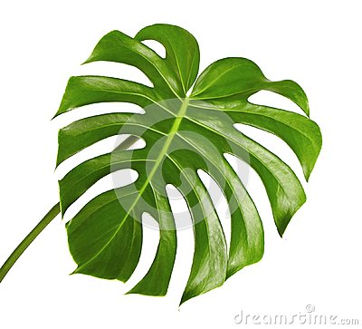 Free Monstera Deliciosa Leaf Or Swiss Cheese Plant, Tropical Foliage Isolated On White Background Royalty Free Stock Photo - 113283715