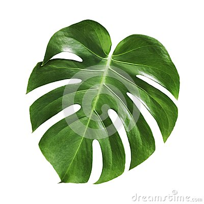 Free Monstera Deliciosa Tropical Leaf Isolated On White Background Stock Photography - 112767122