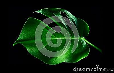 A Monstera leaf