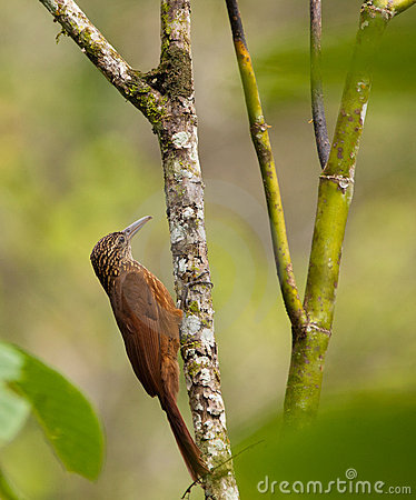 A Montane Woodcreeper holding on a log