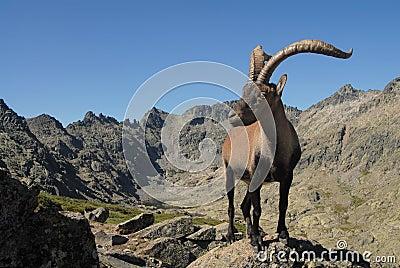 Montanhas e fauna de Gredos