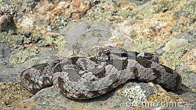 Montivipera xanthina - Ottoman viper