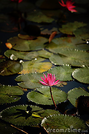 Mooi Lotus