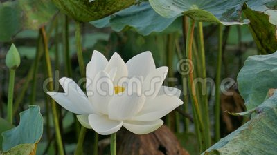 Mooie lotusbloembloemen stock footage