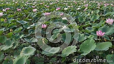 Mooie lotusbloembloemen stock videobeelden