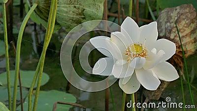 Mooie lotusbloembloemen stock video