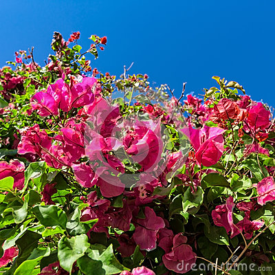 Mooie struik roze bloemen met blauwe hemelachtergrond stock foto afbeelding 56660512 - Bush architectuur ...