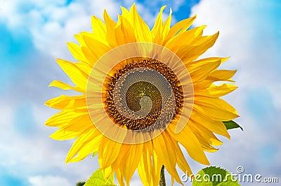 Mooie zonnebloem