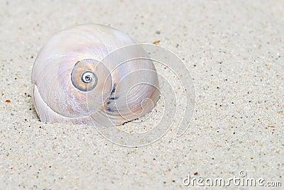 Moon Snail Portrait