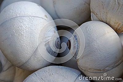 Moon Snail Shells II