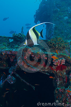The moorish idol