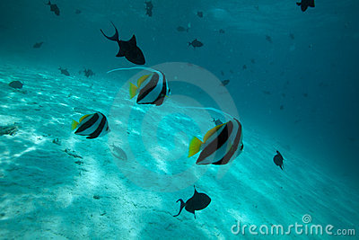 Moorish idol fishes