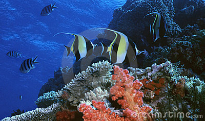 Moorish Idol Reef