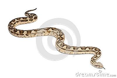 Moorish viper - Macrovipera mauritanica