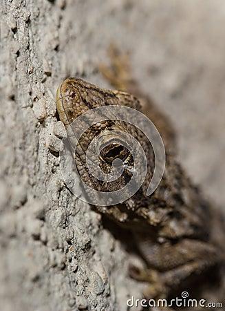Moorish Wall Gecko portrait