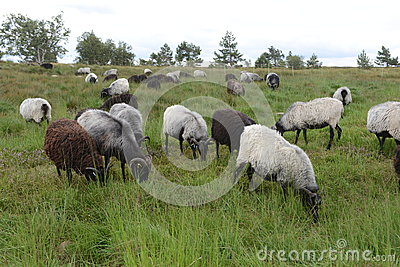 Moorland sheep on high moor meadow, Black Forest, Germany