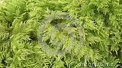 Moos - Hylocomiaceae